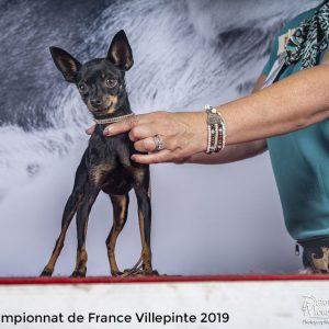 chiens-Russkiy-Toy-Petit-Chien-Russe--84810a13-d94b-b384-9973-90b2de398ca1_min